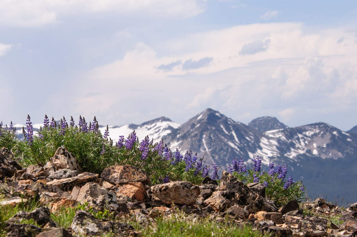Mountain Meadow Skyline - Lupine in the Pioneer Mountains