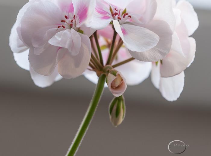 Geranium blossom opening