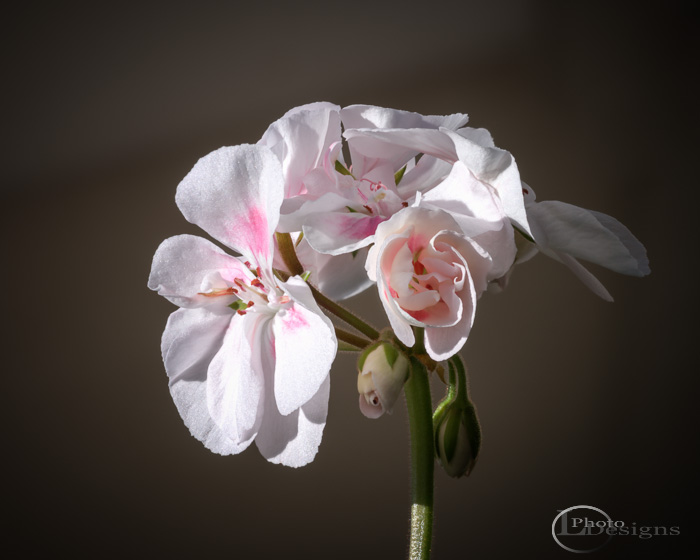 Geranium focus-stacked composite