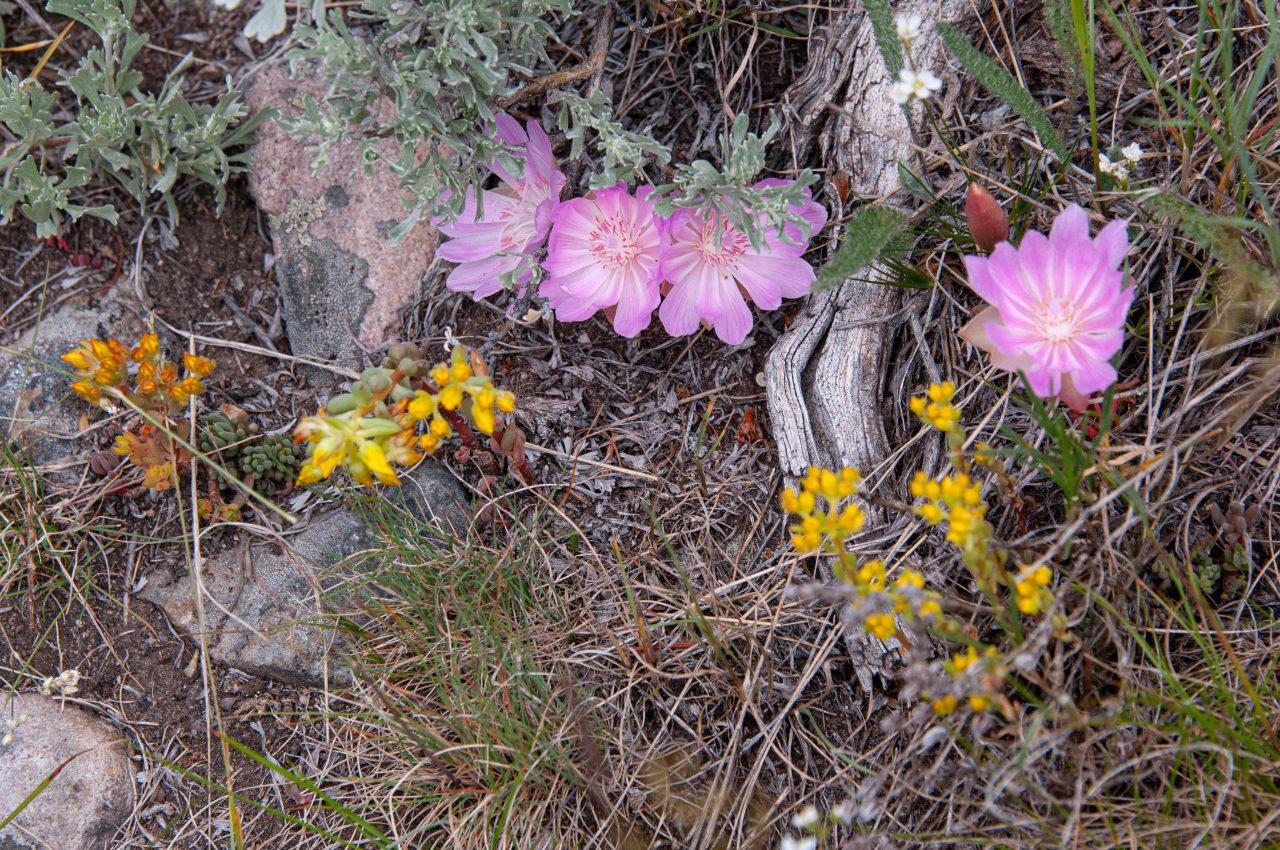Bitterroot - Montana State Flower